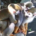 Monkeys with babies