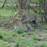 Leopards Mating!