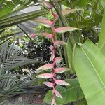 My favorite beautiful heliconia!