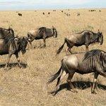Wildebeest at Masai Mara National Reserve