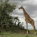 Giraffe at Masai Mara National Reserve