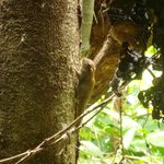 Pygmee squirrel