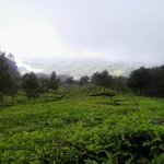 The tea gardens just outside the resort.