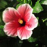 hibiscus in hotel garden