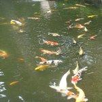 bassin au carpe dans le jardin de l'hotel