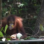 feed time for baby orangutan