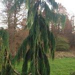 Pine tree at the Pinetum