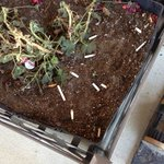 Cigarette butts in planter to the right of front door.