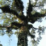 Árvore na Floresta Amazonica Peruana