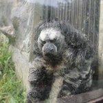 parahuaco, a very fluffy monke