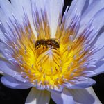 Bee in water lily in lily pond