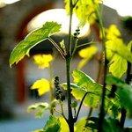 Vigne au printemps, tout proche du Trésor d'Alice