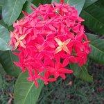 Flores de Madalena