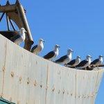 Gulls waiting for fish