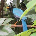 Yucatan Jay, common visitor to resort
