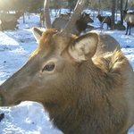See the Elk close up and personal...magificent opportunity