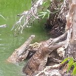 Freshwater crocs - not so dangerous