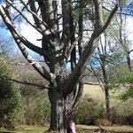 Magical White Pine Tree