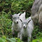 Cute wild goats!