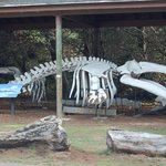 grey whale skeleton