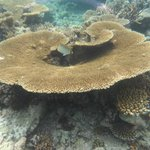 couploe de corail