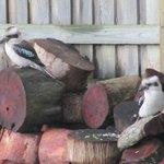 Kookuburras on woodpile