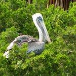 pelican in the bush
