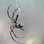 Same spider with breakfast