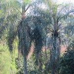 Вид с балкона нашего номера, за пальмами река Игуасу