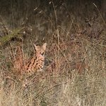 A great viewing of the serval - picture not great but we stayed 45 minutes with him.
