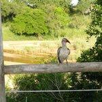 Toco Africano de Pico Rojo o Red Billed Hornbill