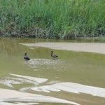 Patos en el río