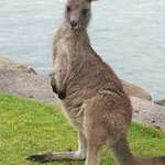 The best location to see kangaroos nearby..