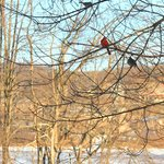 A cardinal pair in tree outside dining room