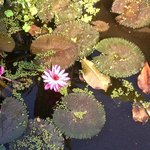 Lotus at the pond