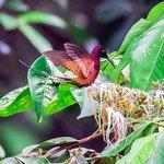 Humming bird (Crimson Topaz)