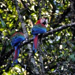 Green Scarlet Macaw
