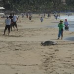 Turtle came up to the beach to lay eggs