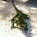 My new iguana friend