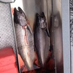 our king salmon limit