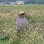 koh yao noi, padi field