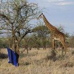 girafs went by for breakfast