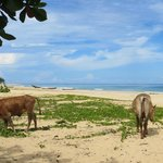Cows on the beach during day trip on the catamaran