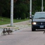 Canada geese stopping traffic.