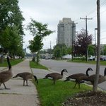 Love the Canada geese.