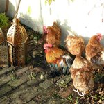 Hens warming up in sun