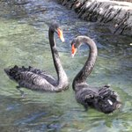 Black Swans in lovely water feature/fountain pool.