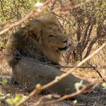 LION AT REST AFTER KILL NEAR MAZAMBALA ISLAND