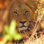 LION SPOTTED ON GAME DRIVE