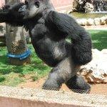 Il gorilla dello zoo